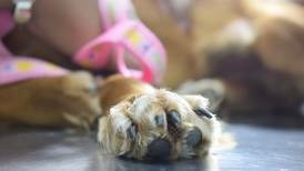 Venta ilegal de perros,  un mal difícil de controlar en Ecuador